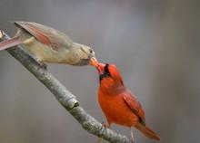 Northern Cardinal Pair, Cardinalis Cardinalis, Male Feeding Female Mate In Spring Gray Background