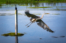 Great Blue Heron Flying From Wetlands Pond In Gainesville Florida.