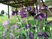 Purple Columbine Flowers
