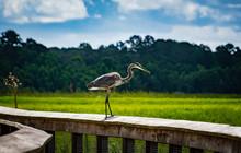 Great Blue Heron Walking On Boardwalk At Gainesville Wetlands In Florida.