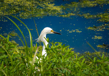 Snowy Egret Hunting At Waters Edge At Wetlands In Gainesville Florida.