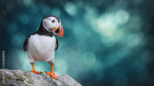 Fototapeta Atlantic Puffins bird or common Puffin in ocean blue background