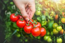 Red Fresh Tomatoes In Beautifu...