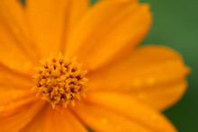 Orange Coreopsis Flower