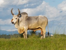 Ox Guzera Was The First Breed ...