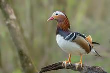 Beautiful Male Mandarin Duck (...