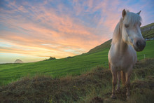A White Horse Stands On The Hill And Sunset Sky As A Background, Sandavagur Village, Faroe Islands