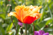 Orange Parrot Tulip (in German...