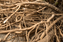 Powerful, Fibrous Root System ...
