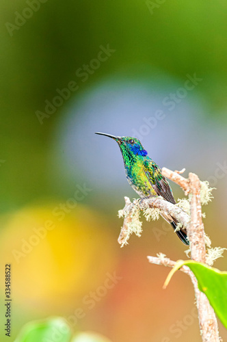 Green Violet-ear Colibri thalassinus hummingbird