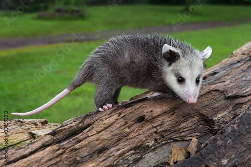 Virginia Opossum Joeys (Didelphis virginiana) Stands Atop Log Summer Canvas Print