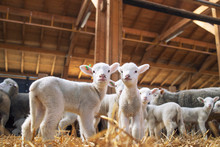 Lambs Looking At Camera In The...