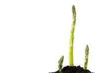 Green Asparagus In Garden Grou...