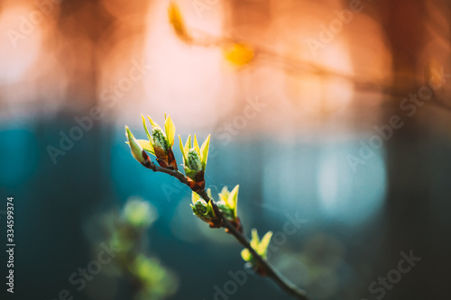 Young Spring Green Leaf Leaves Growing In Branch Of Forest Bush Plant Tree During Sunrise Or Sunset Wallpaper Mural
