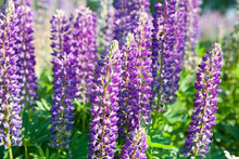 Lupinus Field With Pink Purple And Blue Flowers In Sunny Day. A Field Of Lupines. Violet And Pink Lupin In Meadow. Spring Background. Colorful Bunch Of Lupines Summer Flower Background Or Greeting