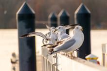 Seagulls Resting On Bridge