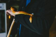 Corn Snake Slithering On A Man...