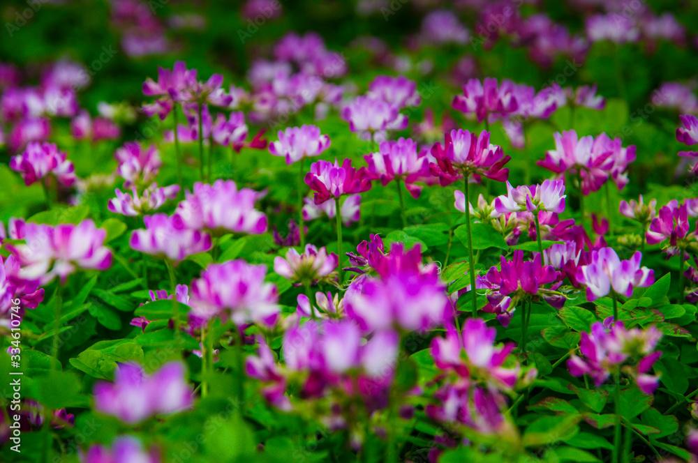 Milk vetch flowers in spring