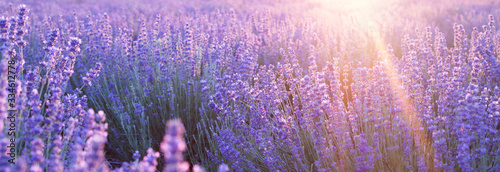 Photo Flowers at sunset rays in the lavender fields in the mountains