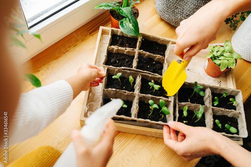 Obraz Two people gardening seedlings on windowsill. No heads, hands only. - fototapety do salonu