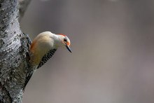 Red-bellied Woodpecker On Side...