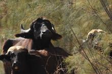 River Buffalos. Species Of Wil...