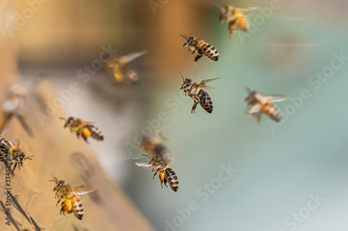 Fotografia Close up of flying honey bees into beehive apiary Working bees collecting yellow