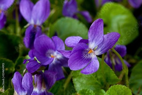 Early Purple Violet Flowers In Daylight