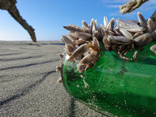Green Beer Bottle Complete With Colony Of Mussels Washed Up On A Beach On New Zealand's West Coast.