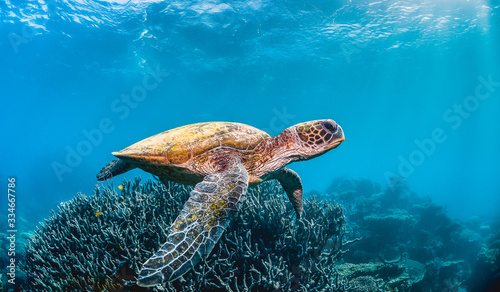Fotografia Green sea turtle swimming in the wild among pristine and colorful coral reef