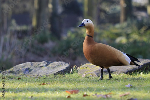 Photo Closeup of an orange duck on the grass in autumn park