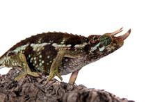 Jackson's Horned Chameleon, Trioceros Jacksonii Jacksonii, On White