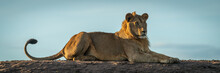 Panorama Of Male Lion Lying On...