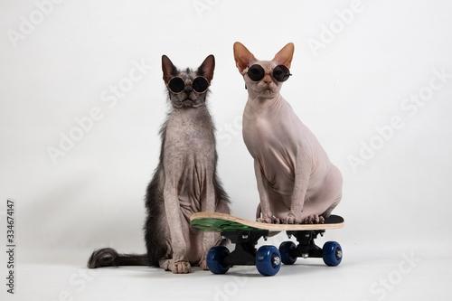 Photo Skateboard sphynx and lykoi
