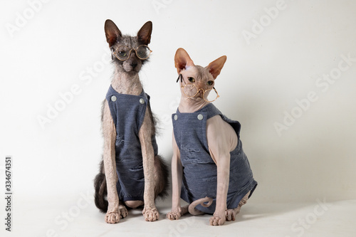 Lykoi and Sphynx with glasses Canvas Print