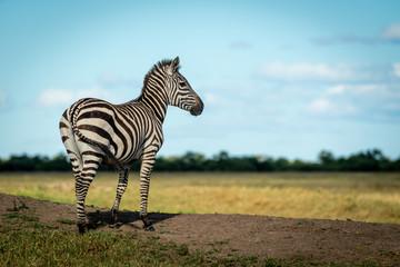 Fototapeta Zebry Plains zebra stands on bank facing right