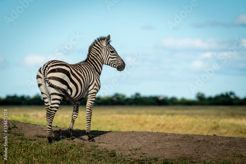 Fototapeta Plains zebra stands on bank facing right obraz