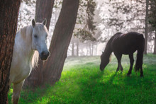 Horses In A Forest At Misty Sunrise.