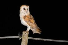 A Barn Owl (Tyto Alba) Returni...