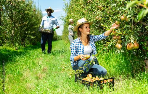 Leinwand Poster Female gathering harvest of pears in plastic box