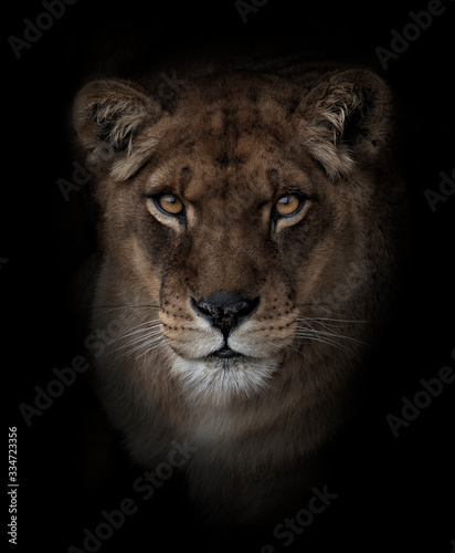 Fototapeta Head portrait of a lioness looking at the camera