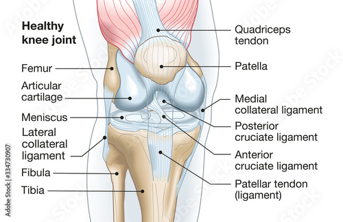 Fotografia Healthy knee joint, medical accurate illustration
