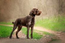 Drahthaar Hunting Dog Beautiful Portrait In The Forest Spring Walk With The Dog