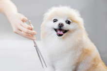 Professional Groomer Cut Hair With Scissors And Clipper Little Smile Dog Pomeranian Spitz