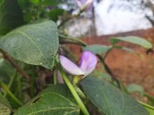 Flower Of Cowpea Field Peas Black-eyed Peas Crowder Peas Southern Peas Nylon Long Green Beans Legumes.Flower Of Long Bean.Purple Flower Of Cowpea Tree And Green Leaves In Garden,Organic Yard Long Bean