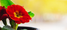 Red Primrose Flowers In A Pot On A Yellow Background, Panorama
