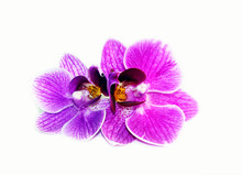 Purple Orchid Flowers On A Whi...