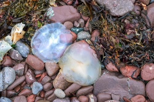 Barrel Jellyfish (Rhizostoma pulmo) washed ashore at st Brides Bay Pembrokeshire Canvas Print