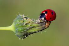 Ladybug Is Eating Aphids