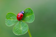 Ladybug On Three Leaf Clover